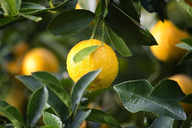 Co budete potřebovat, když si chcete vypěstovat domácí citrón?