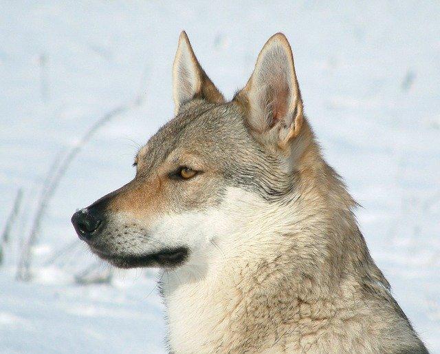 československý vlčák v zimě