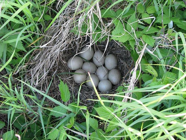 kachní hnízdo